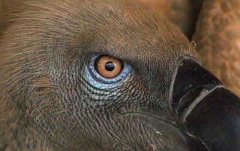 Cape Vulture eye. Photo Kerri Wolter